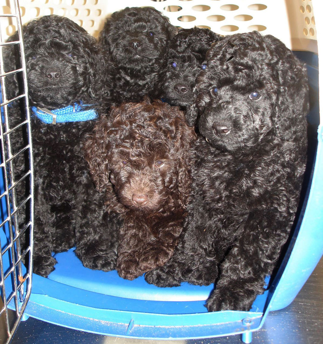 Miniature Black And Chocolate Brown Poodle Puppies From Seattle